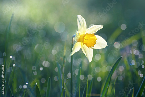Fototapety, obrazy : Beautiful big white narcissus flower in the grass in the sun shines in the morning in the spring summer outdoors. Beautiful circular bokeh, morning dew sparkles in the sun. Blurry soft background.