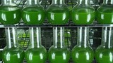 Two rows of bottles filled with green microalgae Chlorella  inside of  light thermostat. Horizontal panning. Camera turns on the right.