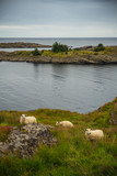 Grazing sheep in the Norwegian port.
