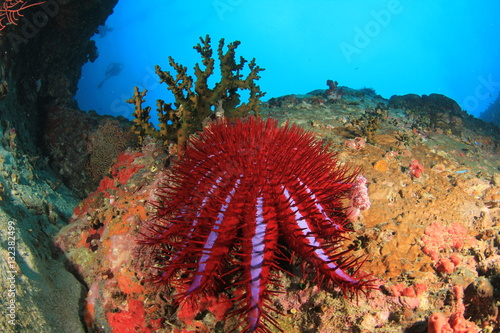 Poster Crown of Thorns Starfish