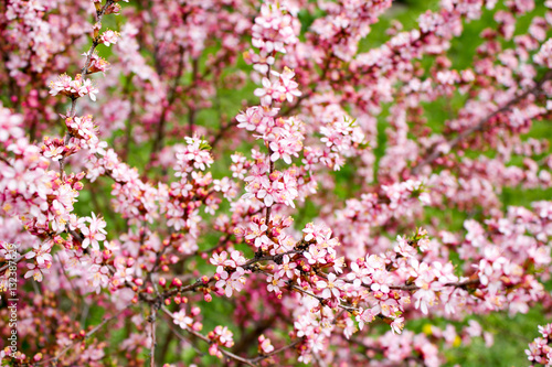 Poster The branches of a flowering almond