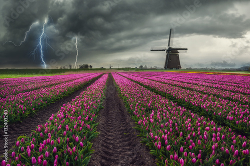 Traditional Dutch Field of Tulips Poster