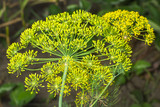Yellow flowers of dill (Anethum graveolens)