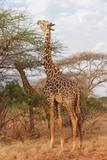 Giraffe mangiano le foglie di un albero
