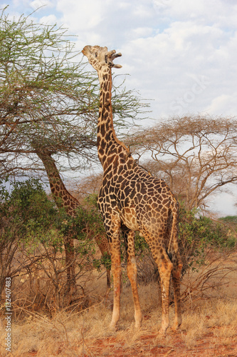 Poster Giraffe mangiano le foglie di un albero