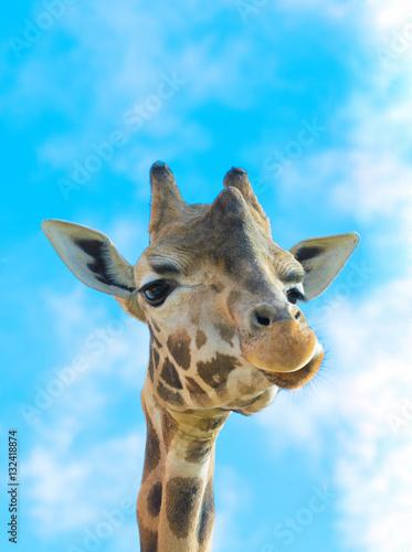 Poster Funny Giraffe Portrait