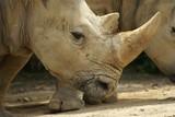 Rhino - close up