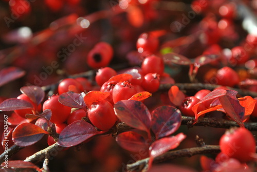 Plakat Irga - Cotoneaster Medical