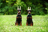Twins of Doberman puppies with ears periasany sitting on green lawn in the summer park