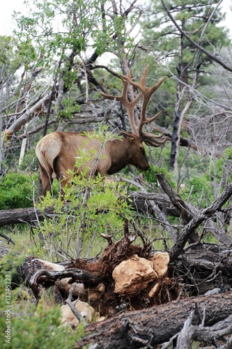 Poster Bull Elk Grazing in Natural Habitat