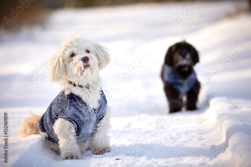 Poster Havanese dog waiting and watching in snow