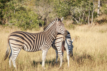 Zebra starring at the camera.