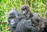 Baby Mountain gorilla on the back of his mother. - 132472650