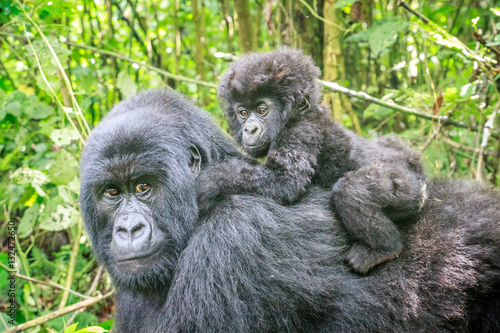 Baby Mountain gorilla on the back of his mother. Poster