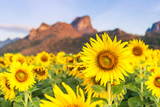 Field of blooming sunflowers on a background mountain