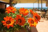 Sunkissed Gazania Flowers
