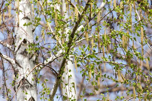 birch nature spring