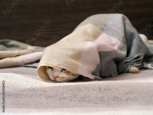 Poster Funny cat wrapped in plaid lies on the bed