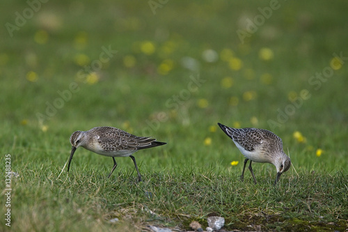 Poster Curlew Sandpipers (Calidris ferruginea), Cornwall, England, UK.