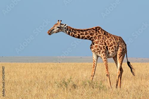 Poster Masai giraffe (Giraffa camelopardalis tippelskirchi), Masai Mara National Reserve, Kenya