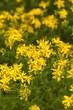 Yellow flowers of hypericum perforatum, St. John's worts