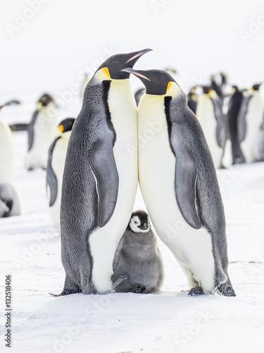 Tuinposter Antarctica Emperor penguins on the frozen Weddell Sea