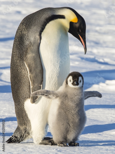 Aluminium Pinguin Emperor penguins on the frozen Weddell Sea