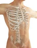 Anatomia ossa del torace costole e spina dorsale