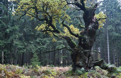 Fotobehang Betoverde Bos Eiche im Herbst