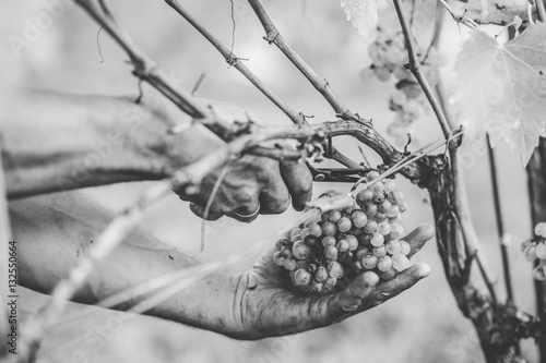 Grape harvest in the Tuscan hills. - 132550664