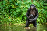The chimpanzee Bonobo with cub in the water . At a short distance, close up. The Bonobo ( Pan paniscus), called the pygmy chimpanzee. Democratic Republic of Congo. Africa