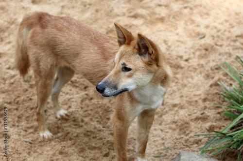 Poster Dingo, Queensland,  Australie