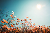 Fototapety Vintage landscape nature background of beautiful cosmos flower field on sky with sunlight in spring. vintage color tone filter effect