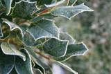Cespuglio di Agrifoglio con foglie coperte dal gelo