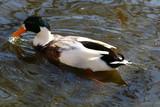 дикая утка плывет по маленькому озеру на севере Израиля