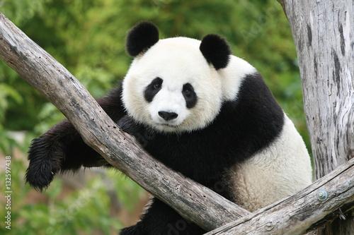 Fototapeta Panda Géant