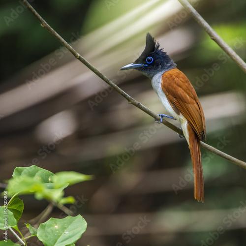 Poster Asian paradise flycatcher in Minneriya national park, Sri Lanka