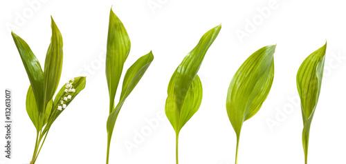Fotobehang Lelietjes van dalen Set lily leaves. isolated on white background
