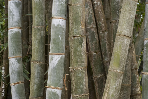 Papiers peints Bambou Bambou, Phyllostachys nigra 'Henonis'