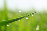 Beautiful macro photohraph of fresh dew drops on grass in the morning. Nature abstract detail.