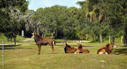 Poster Antilope Sable antelope