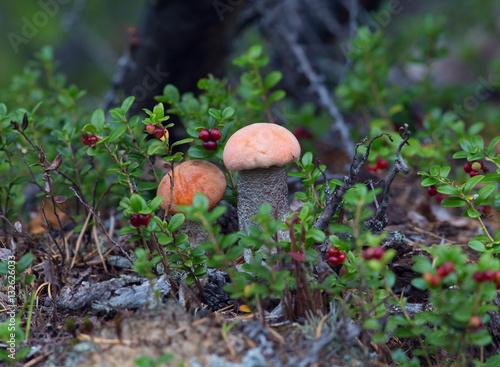 Poszter Тихая охота,сбор грибов