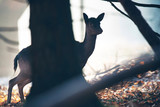 Silhouette of female fallow deer standing behind tree.