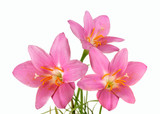 a bouquet of pink primrose isolated