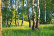summer rural landscape with forest and  meadow on sunset. birch