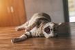 fat tabby cat