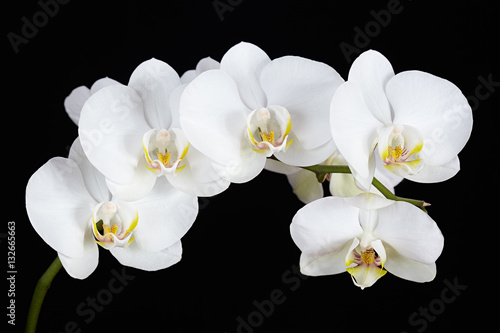 Fototapeta The branch of white orchid on a black background