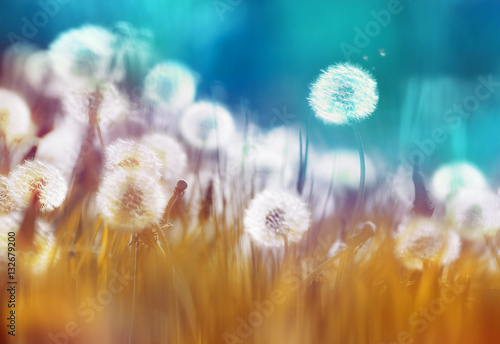 Zdjęcia na płótnie, fototapety na wymiar, obrazy na ścianę : Easy air glowing dandelions with soft focus in grass summer sun morning outdoors close-up macro on blue gold background. Romantic dreamy artistic image. Desktop wallpapers, card.