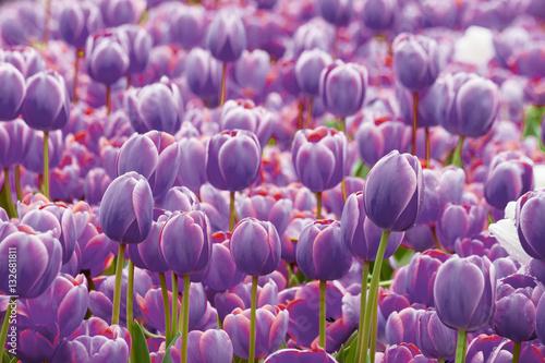 Zdjęcia na płótnie, fototapety na wymiar, obrazy na ścianę : Tulip