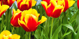Vibrant colorful holiday or birthday banner background with beautiful red and yellow tulips flowerbed